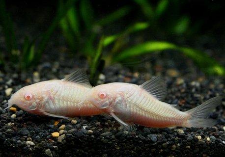 Corydoras-Albina.jpg