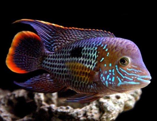 Green-Terror-Cichlid-Pond-Fish.jpg