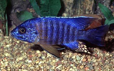 blueorchild.jpg